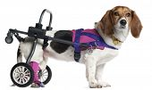 stock photo of cross-breeding  - Paralyzed handicapped mixed - JPG