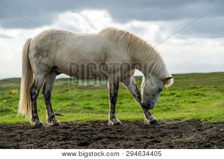 poster of Icelandic Horse In Scenic Nature Of Iceland.
