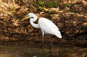 stock photo of fidget  - Great Egret hunting at the Morning - JPG