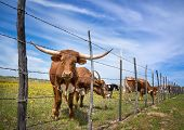 Texas Longhorn Cattle Grazing Behind A Fence On A Yellow Flower Pasture In The Spring. Blue Sky Back poster