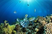 picture of sergeant major  - Tropical Fish on Coral Reef in the Red Sea with Sunburst - JPG