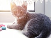 Little Gray Kitty Lying On The Window. Sunlight In The Window. poster