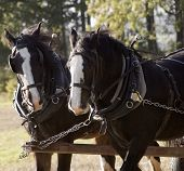 foto of shire horse  - Shire horses pulling carriage gb eu uk - JPG