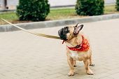 Cute And Leashed Purebred French Bulldog Wearing Red Scarf poster