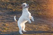 Purebred Jack Russel Terrier Dog Outdoors In The Nature On Grass Park Spring Day. Performs Tricks An poster