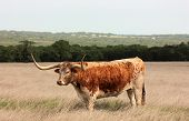 Old Longhorn Steer Grazing In A Pasture Near Fredericksburg, Texas Located In The Texas Hill Country poster