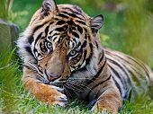 The Amur Or Ussuri Tiger, Or The Far Eastern Tiger (lat. Panthera Tigris Altaica) Is A Subspecies Of poster