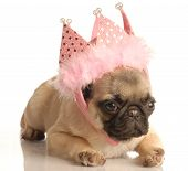 foto of funny animals  - cute fawn pug puppy wearing pink tiara isolated on white background - JPG