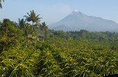 stock photo of ceres  - Dragon fruit plantation and active volcano background - JPG