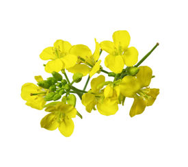 stock photo of cruciferous  - Rapeseed blossoms Brassica napus flower isolated on white background - JPG