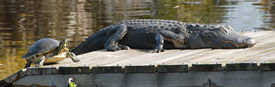 stock photo of gator  - large turtle and large gator sunning side by side on dock - JPG