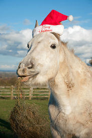 image of horse wearing santa hat  - Grey horse wearing a Christmas hat with hay hanging from his mouth - JPG