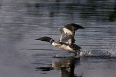 foto of loon  - Common Loon starting to take flight in Ontarion Canada - JPG