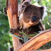 image of eucalyptus trees  - Smiling Koala in a Eucalyptus Tree Adelaide Australia - JPG