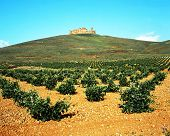 Vineyard with castle to rear, La Mancha, Spain.