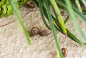 stock photo of terrestrial animal  - Operculum is the calcareous lid that attached on top of a snail - JPG