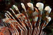 A poisonous lionfish