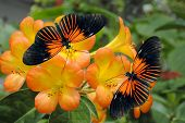 picture of dory  - Tropical Rhododendron simbu sunset flowers with 2 Doris Longwing Butterflies - JPG