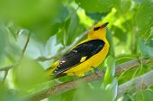 Golden Oriole in natural habitat (Oriolus oriolus)