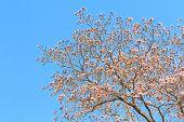 foto of trumpet flower  - Rosy trumpet flower or Pink trumpet flower blooming on tree  - JPG