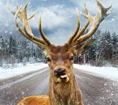picture of deer horn  - Deer with beautiful big horns on a winter country road  - JPG