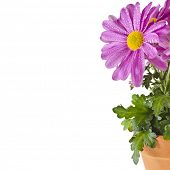 bouquet of beautiful chrysanthemum flower potted isolated on white background