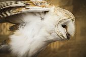 Owl portrait, golden owl, wildlife concept