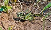 stock photo of locust  - Locusts in the grass on a summer meadow. ** Note: Visible grain at 100%, best at smaller sizes - JPG