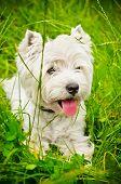 stock photo of west highland white terrier  - west highland white terrier on a green grass outdoors - JPG