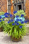 picture of planters  - Gravelled courtyard with blue alliums in a terracotta planter - JPG