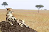 foto of cheetah  - A cheetah  - JPG