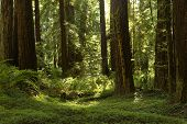 stock photo of redwood forest  - A Beautiful Redwood Grove along the Avenue Of The Giants, California ** Note: Soft Focus at 100%, best at smaller sizes - JPG