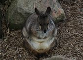 pic of wallabies  - An Australian rock wallaby huddled for warmth.