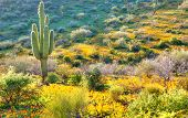 stock photo of ocotillo  - Backlit Saguaro and Gold Poppies in Arizona - JPG