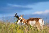 image of antelope horn  - adult male prong horn antelope feeding on green grass in South Dakota - JPG