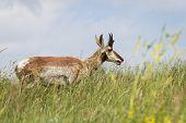 stock photo of antelope horn  - adult male prong horn antelope walking on green grass in South Dakota - JPG