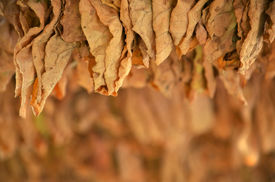 stock photo of tobaco leaf  - Picture of a Drying tobacco leaves on sun  - JPG