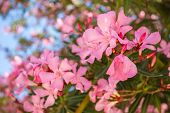 stock photo of oleander  - Oleander rose bay flower - JPG