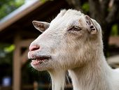 stock photo of billy goat  - A billy goat seen at a small petting zoo - JPG