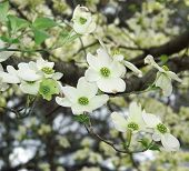 stock photo of dogwood  - A cluster of dogwood blossoms on a tree