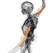 foto of humerus  - 3d rendered illustration of the humerus bone  - JPG