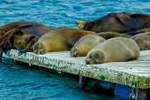 stock photo of sea lion  - sea lions laying on the dock galapagos islands ecuador - JPG
