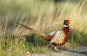 pic of pheasant  - A wild pheasant in breeding colors in Idaho