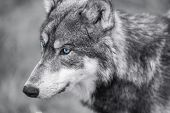 picture of black eyes  - Black and white photograph of North American Gray Wolf - JPG