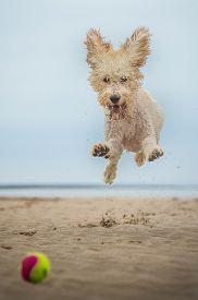 image of border terrier  - gundog - JPG
