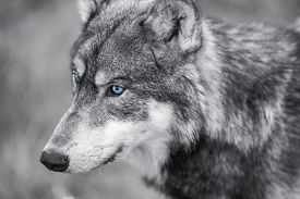 image of white wolf  - Black and white photograph of North American Gray Wolf - JPG