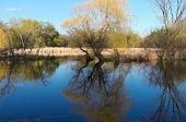 foto of wetland  - Willow trees reeds and wetlands with reflections in pond - JPG