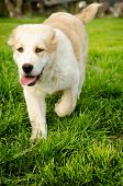 stock photo of hairy tongue  - Running Central Asian Shepherd Puppy in a park - JPG