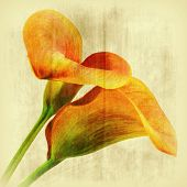 stock photo of calla  - two callas in orange frontal with texture - JPG