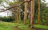 image of eucalyptus trees  - Rainbow Eucalyptus Trees in rain - JPG